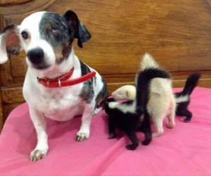 Шинэ төрсөн скунсуудын эхийг нохой орлов
