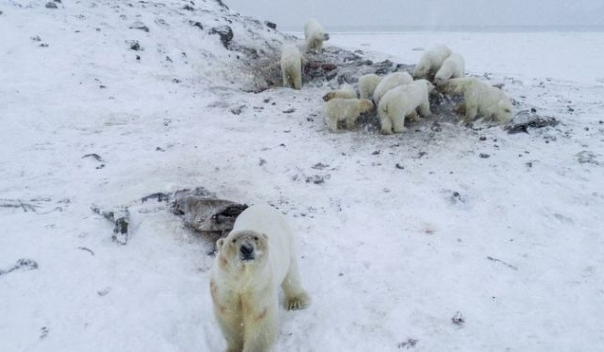 Цагаан баавгай Оросын тосгонд орж иржээ