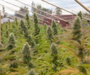 Калифорнийн түймэр хар тамхины тариаланг сүйтгэж магадгүй болжээ